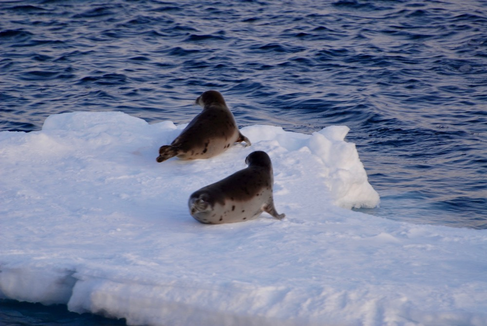 Seals on ice in the cold winter ocean